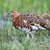 Another Willow Ptarmigan taken in Denali by Becky.