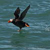 Nice photo of a Tufted Puffin taking off. Photo taken by Becky from the Silver Salmon Creek Lodge boat.