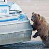Grizzly bear checking out the Silver Salmon Creek Lodge's boat for fish. Boat had just returned earlier from a fishing trip and the smell of fish was strong.