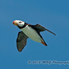 A Horned Puffin in flight. A fast flying bird and extremely hard to lock onto!