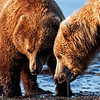 Wow, we thought these two grizzlies going to get into it right in front of us. I think that they decided it wasn't worth the effort after a few minutes and just walked away from each other. What a series of photos that would have produced if they decided to put on a fighting show for us.