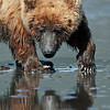 Claming bear and itsreflection. Normally you should always focus on the eyes but when these bears are digging for clams they don't look up often. I like this one because of the reflection.