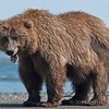 This bear walked out mud flats into the beach area. We just happened to be in the right position to get a shot.