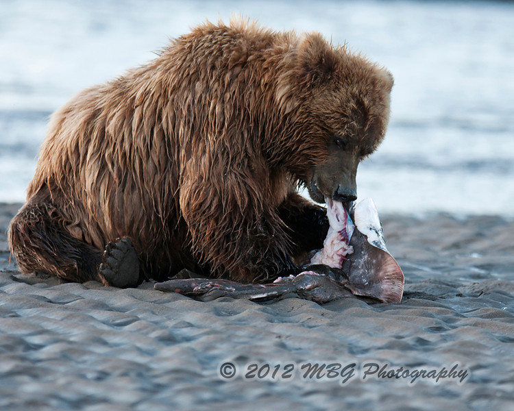This one found a skate that the fishermen had thrown overboard! Nice meal for him.