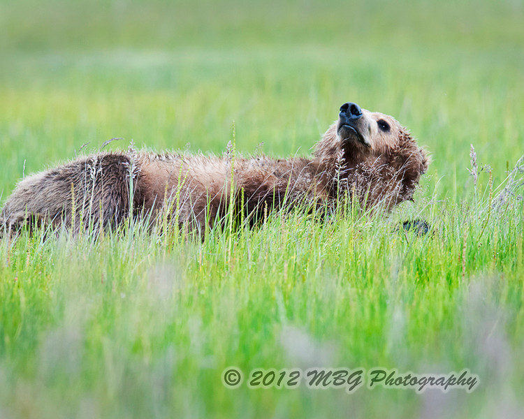 Lazy bear. Boy there were many an afternoon when I could have just layed around in the beautiful meadow and acted like this bear. Ken Conger keep us plenty busy with many outings.