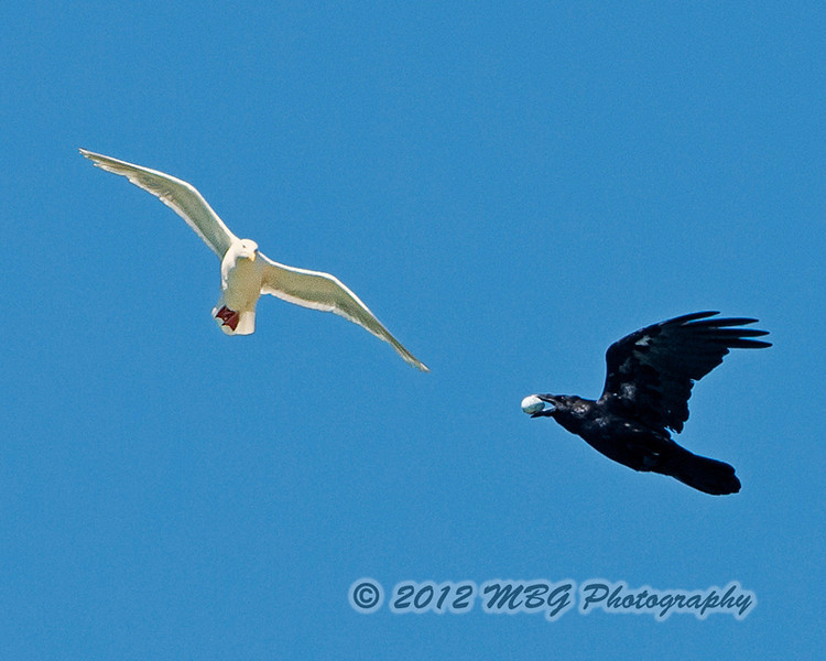 The Raven that stole a kittiwake egg.<br /> <br /> What a lucky capture from a distance of 35-50 yards and on a boat in a semi-rough sea!