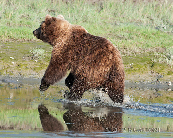You would find these grizzlies in the streams and meadows. This one photographed by Becky decided that he had enough and ran away from us.