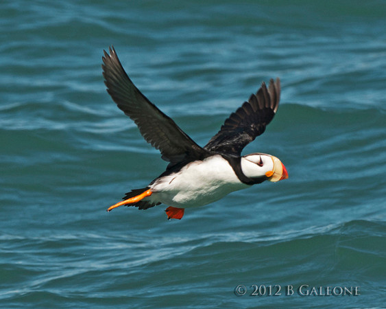 Photograph of a Horned Puffin taken by Becky.
