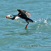 Another shot of a Horned Puffin taken off to avoid us!