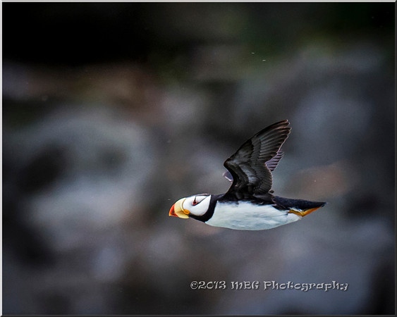 One of my most favorite times during the Lake Clark tour was taking the Puffin trip to the rock island. The traveled seas of 4-6 foot wave pounding us inside the cabin. The wind blew and It rained so hard that at times you couldn't see. Really a challenging experience for all. I was surprised that I got some really good photos considering.