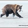 MG8042015- Bears (518)
