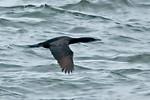 Cormorant - Pelagic - Moclips, WA