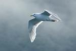 Gull - Glaucous-winged - Glacier Bay, AK - 01