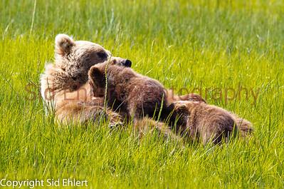 Bears Alaska 2011-2911