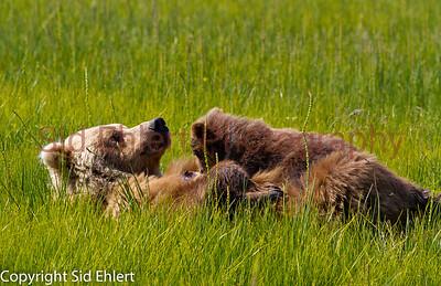 Bears Alaska 2011-2923