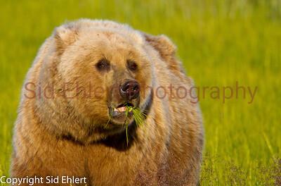 Bears Alaska 2011-3538