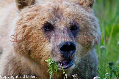Bears Alaska 2011-3196