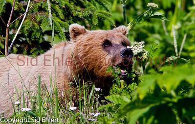 Bears Alaska 2011-3122