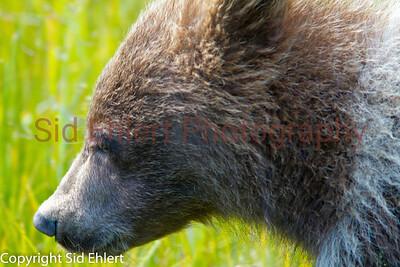 Bears Alaska 2011-3226