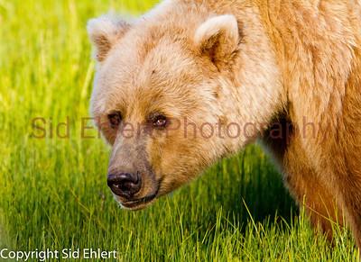 Bears 2011-3706