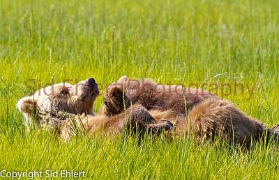 Bears Alaska 2011-2925