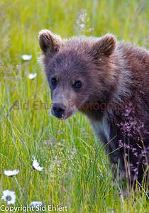 Bears Alaska 2011-3234