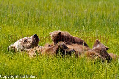 Bears Alaska 2011-2965