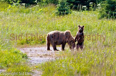 Bears Alaska 2011-3075