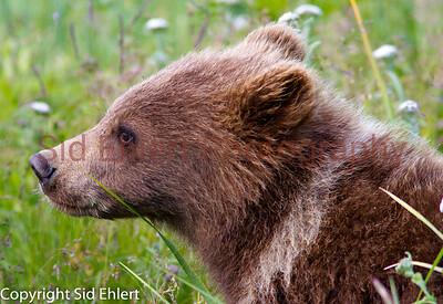 Bears Alaska 2011-3206