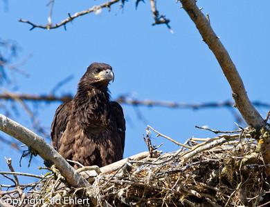 Eagles Alaska 2011