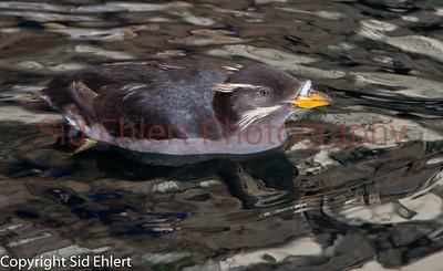 Seward SeaLife Center 2011-2242