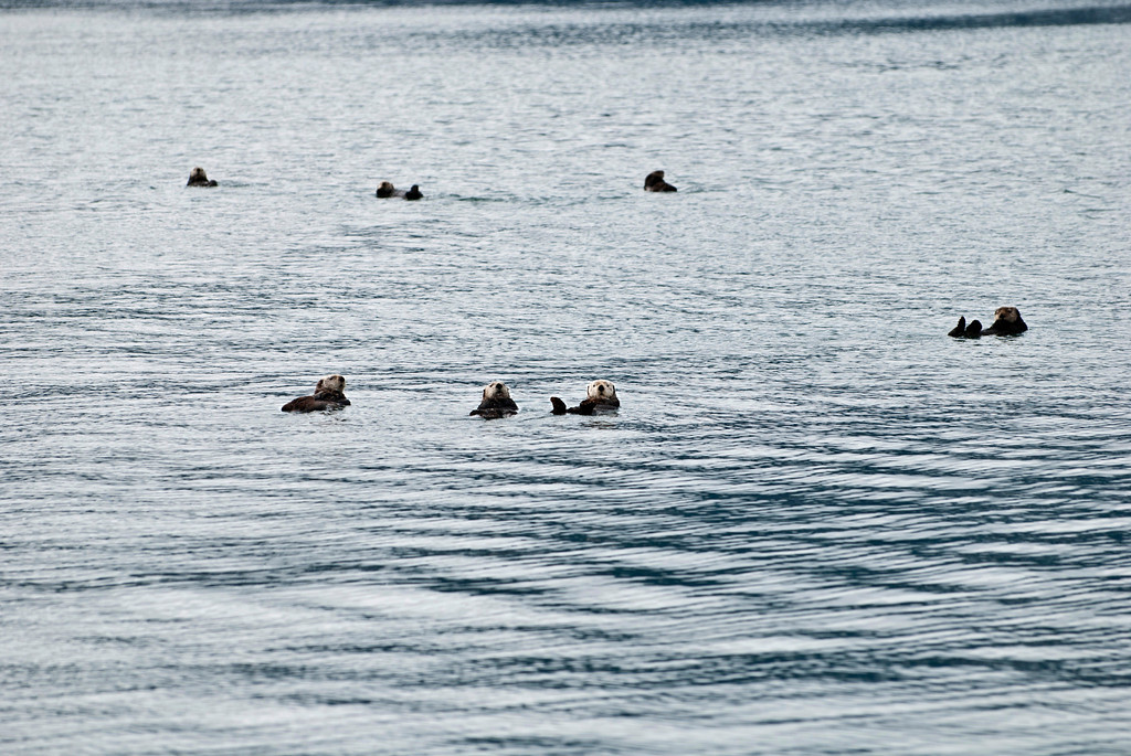 Sea otters - these are males, as they have white faces