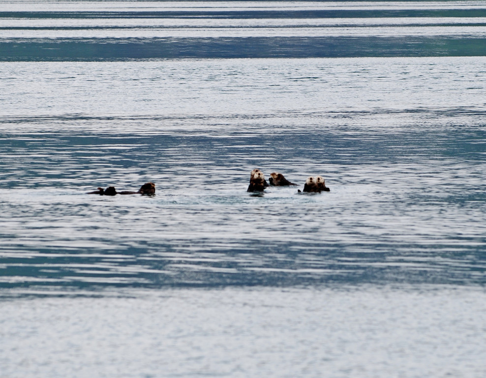 More sea otters, watching us as we watched them