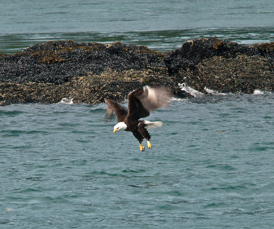 Eagle swooping down to try to catch a fish