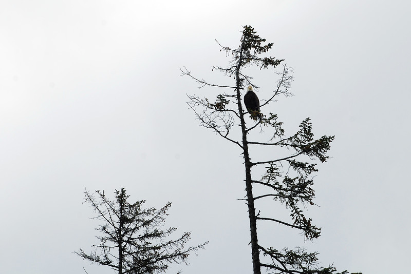 Bald eagle high up