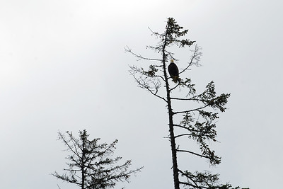 Bald eagle high up