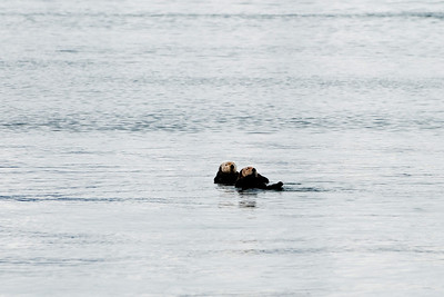 Two males sea otters just floating on their backs