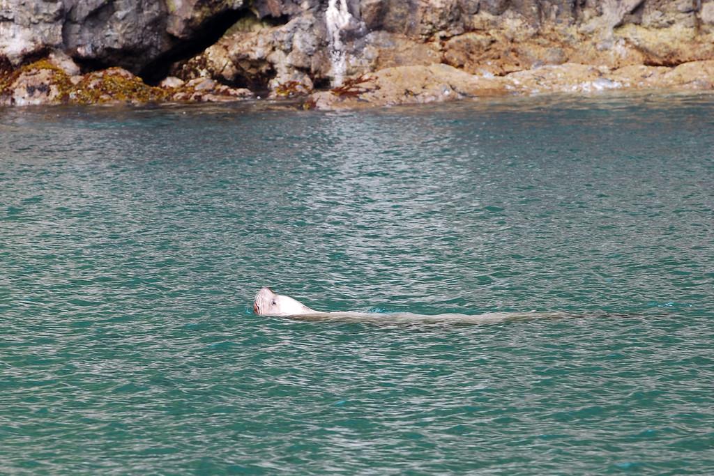 Sea lion, swimming alone