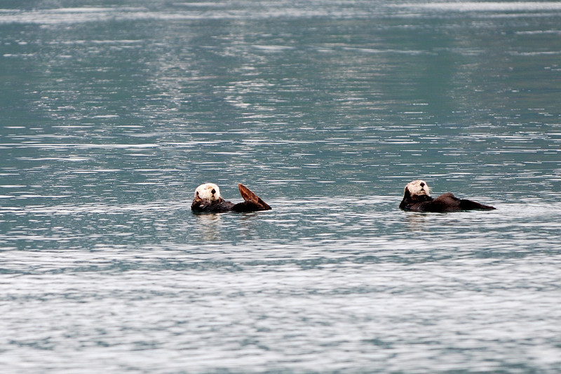 Male sea otters