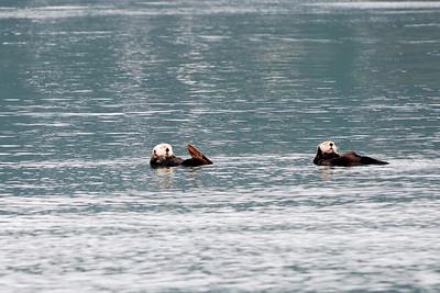 Male sea otters
