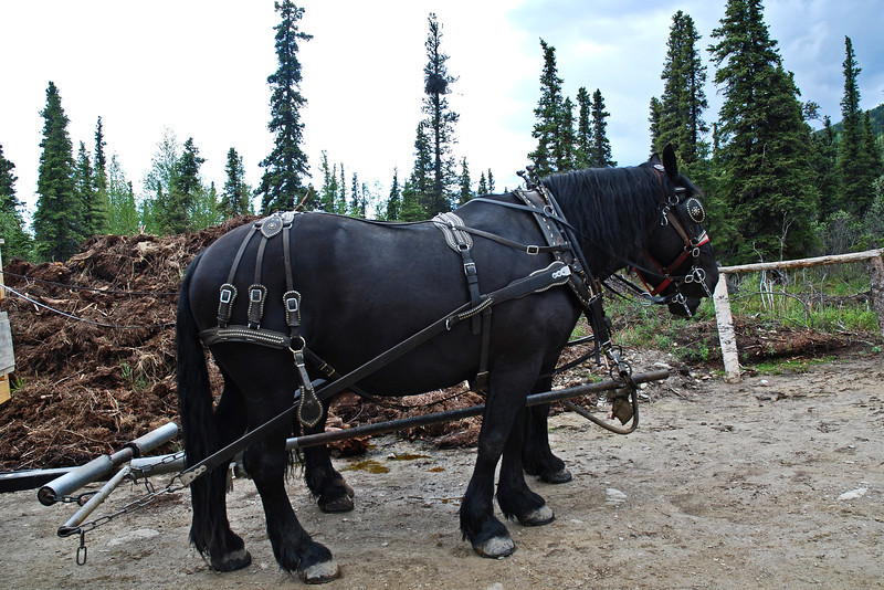 Cover wagon ride in Denali - The horses were named Dick and Dan.