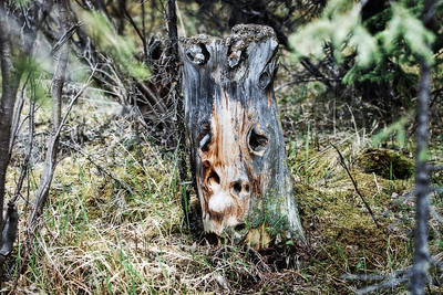 Denali National Park - This stump just caught my eye, as it was so unusual.