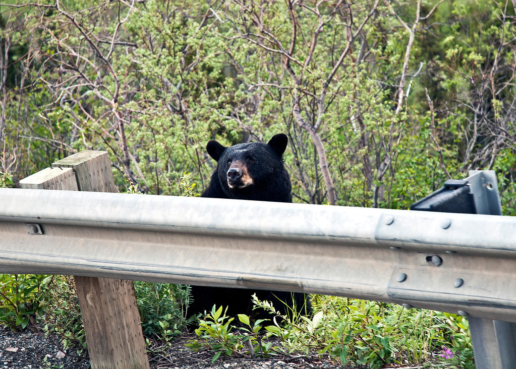 Black bear sighted on the highway on the way back to the Denali lodge