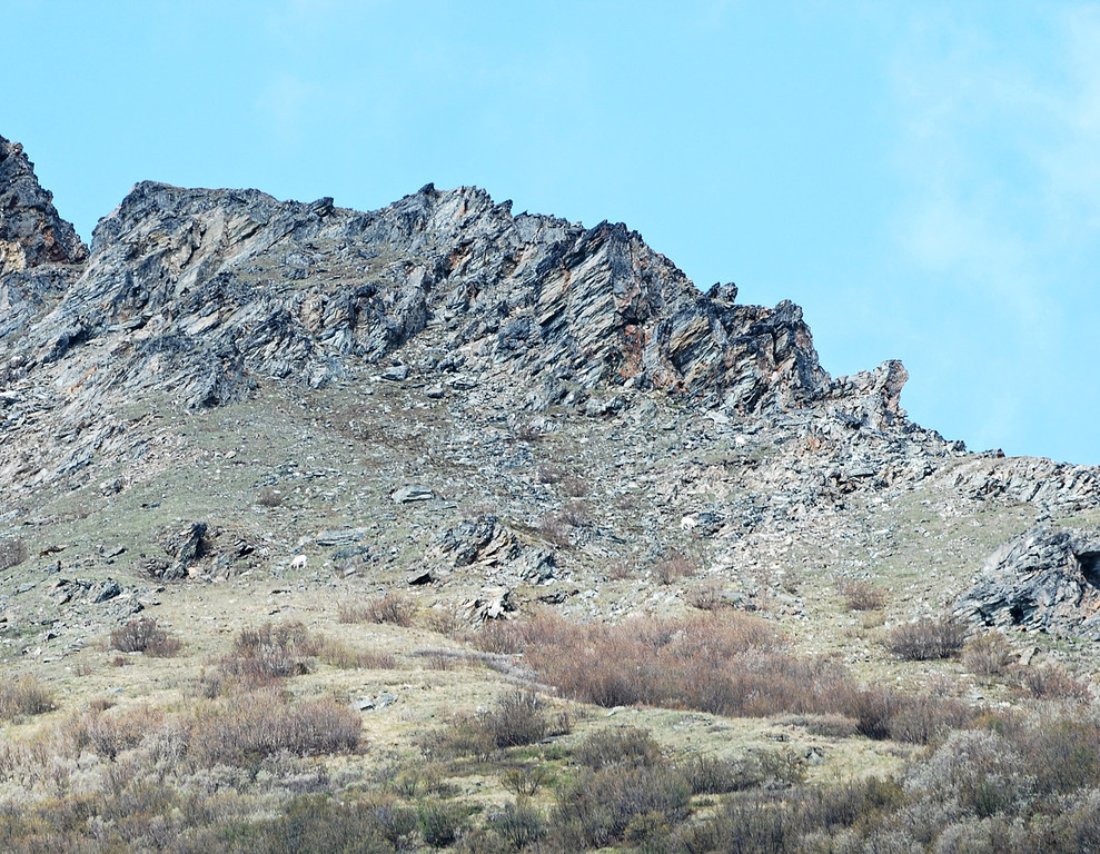Three Dall sheep in the mountains in Denali National Park