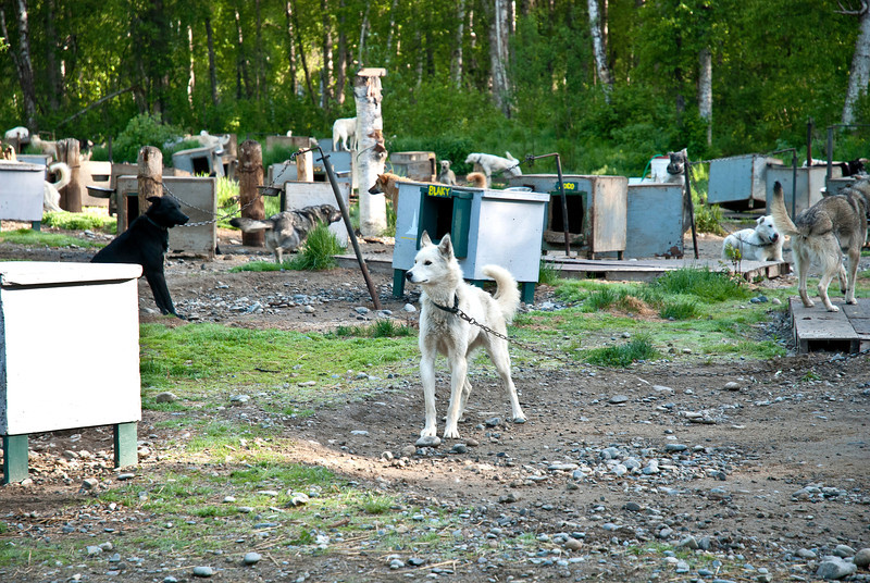 Sled dog at the Sun Dog Kennel, owned by Iditarod racer Jerry Sousa, top 20 finisher in 2012.