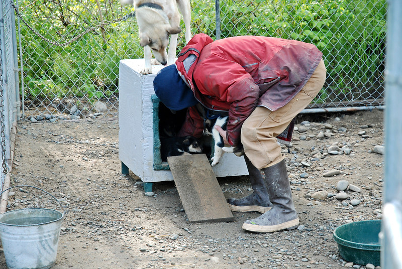 Jerry Sousa showing the puppies bred for sled dog racing. The mother was on the 2012 Iditarod team, until she went into heat on the fifth day.
