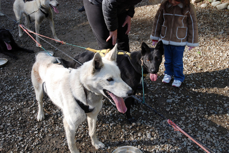 Sled dogs after their run