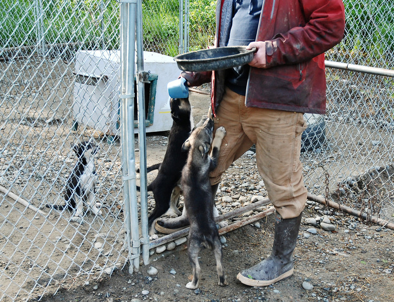 Pupies begging for food. Eagerness to eat is a good quality in selecting sled dogs