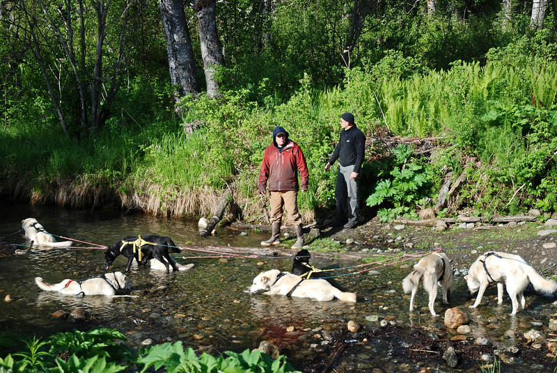 Sled dogs cooling off in river stream in Talkeetna - Sun Dog Kennel/Iditarod team