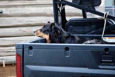 Dog waiting in back of the jeep for his owner